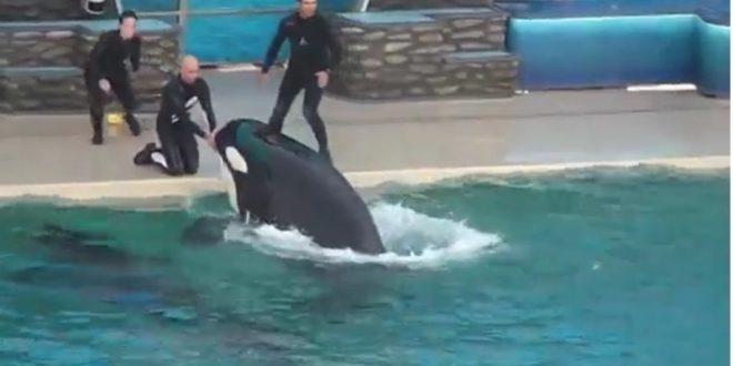 (ВИДЕО) ВОЗНЕМИРУВАЧКИ ПРИЗОР ОД БАЗЕН: Тренерот исчезнал под вода откако го грабнал КИТ УБИЕЦ!